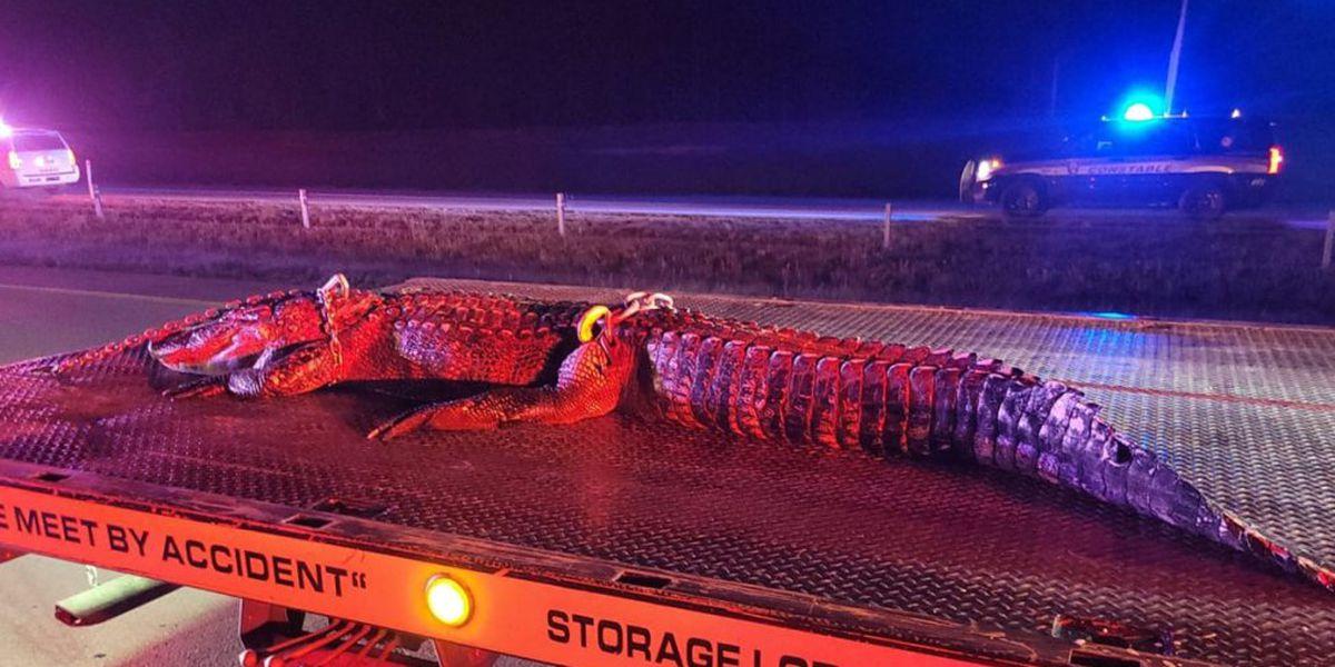 En Texas: se estrella contra lagarto de 300 libras y lo arrastra por casi una milla