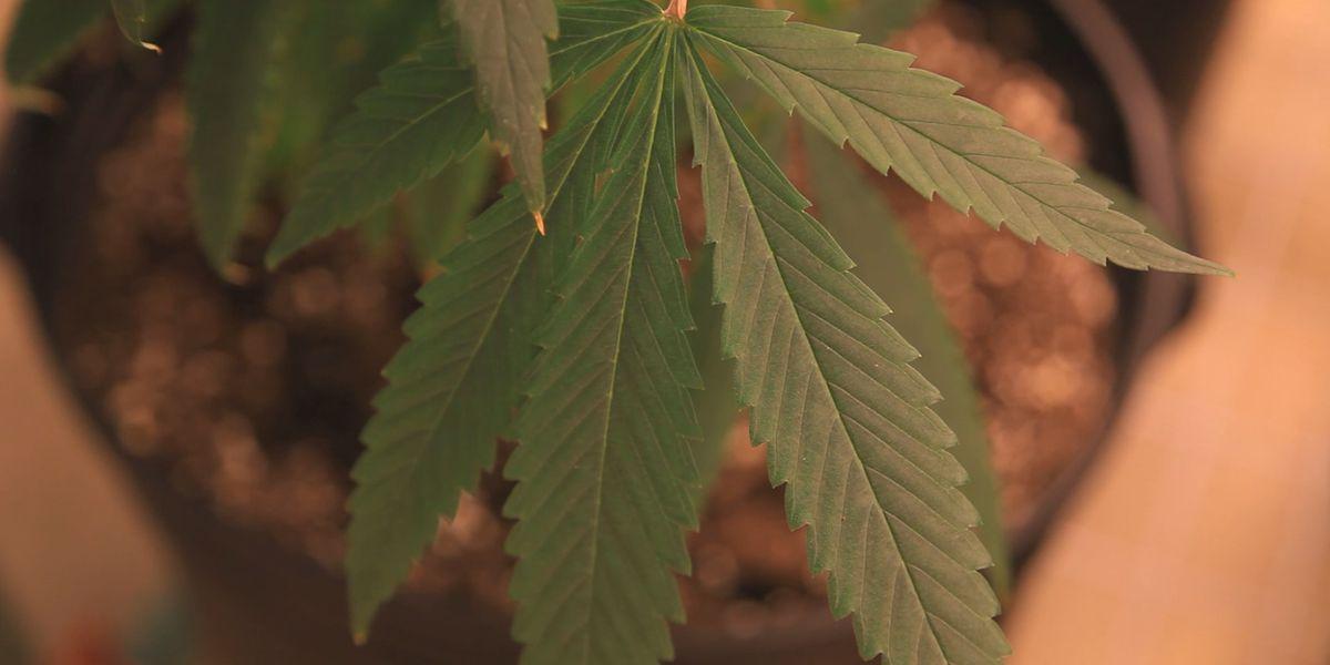 Cámara votará sobre histórico proyecto de ley de despenalización de la marihuana en septiembre